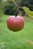 Apple bedeckte mit Regentropfen stockfotos