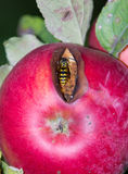 Apple with bee Stock Photo