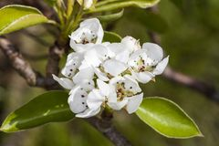Apple bianco sboccia fiori Fotografie Stock