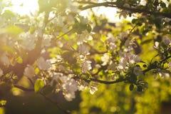 Apple blühen bei Sonnenuntergang stockfotografie