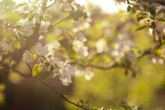 Apple blühen bei Sonnenuntergang stockfotos