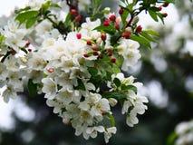 Apple blühen Blumen Lizenzfreies Stockbild