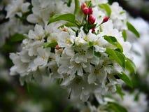 Apple blühen Blumen Lizenzfreie Stockbilder