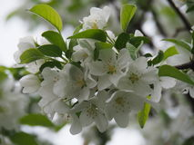 Apple blühen Blumen Stockbild
