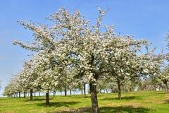 Apple blühen in der Blüte Lizenzfreie Stockbilder