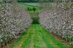 Apple blühen in der Blüte Stockfotos