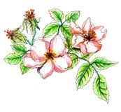 Apple blühen in der Blüte Botanische Illustration Stockbild