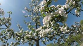 Apple blühen in Deutschland stock video