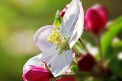 Apple blühen im Sonnenlicht lizenzfreie stockfotografie