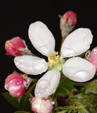 Apple blühen mit Wassertropfen Stockfotografie