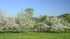 Apple blühen, Plantage in Deutschland, bei Eislingen stock video