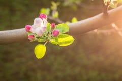 Apple blühen während der Vorfrühlingsjahreszeit in Kaschmir stockbild