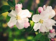 Apple blüht das Blühen im Schattenbaum, Nahaufnahme Lizenzfreies Stockbild