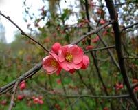 Apple blüht rosa Bündel im Garten Stockbilder