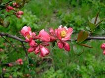 Apple blüht rosa Bündel im Garten Stockbild