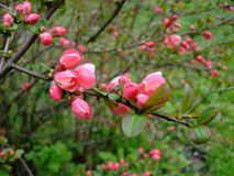 Apple blüht rosa Bündel im Garten Lizenzfreie Stockfotografie