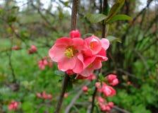 Apple blüht rosa Bündel im Garten Stockfotografie