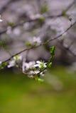 Apple blüht unscharfes Bild des Frühlinges Blüte Lizenzfreie Stockfotos