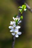 Apple blüht unscharfes Bild des Frühlinges Blüte Lizenzfreie Stockfotografie