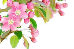 Apple-Blüte stockbild