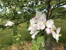 Apple-Blüte 1 Lizenzfreies Stockbild