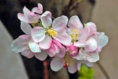 Apple-Blüte Lizenzfreie Stockbilder