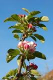 Apple-Blüte Lizenzfreies Stockbild