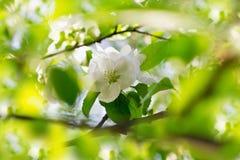 Apple-Blüten über unscharfem Natur backgroung Lizenzfreie Stockfotografie