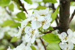 Apple-Blüten Lizenzfreie Stockfotos