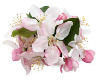 Apple-Blüten Lizenzfreies Stockbild