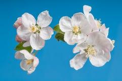 Apple-Blüten auf blauem Hintergrund Stockfotos