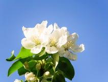 Apple-Blüten auf Hintergrund des blauen Himmels Lizenzfreie Stockbilder