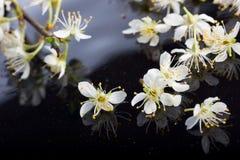 Apple-Blüten auf schwarzem Hintergrund Stockfoto