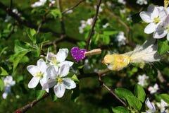 Apple-Blüten im Garten stockbild