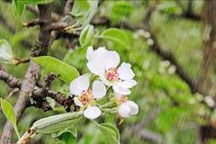Apple-Blüten im Regen Lizenzfreie Stockfotografie