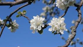Apple-Blüten, sonniger Tag Set von 9 Abbildungen der wundervollen mehrfarbigen Tulpen Blühender Baum in einem Park im Frühjahr He stock video