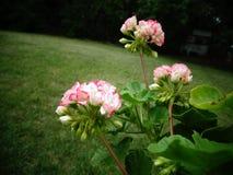 Apple-Blütenpelargonie stockfotografie