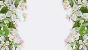 Apple-Blütenränder auf rosafarbenem Hintergrund Stockfotografie