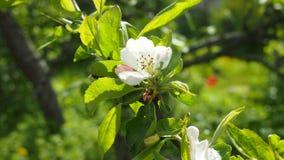 Apple blanc fleurissent Photos stock