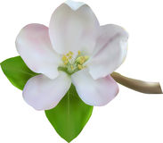 Apple blanco florece ilustración del vector