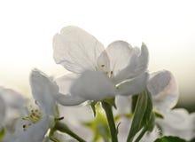 Apple-bloem Royalty-vrije Stock Foto's