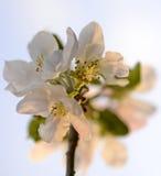 Apple-bloem Stock Foto's