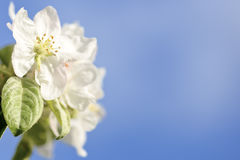 Apple-bloem Stock Fotografie