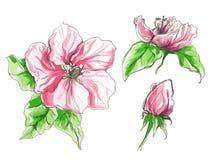 Apple-bloem in bloesem Royalty-vrije Stock Foto