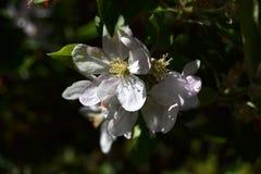 Apple-bloemboom bij nacht royalty-vrije stock foto's