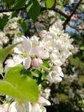 Apple-bloemen aan een tak worden geplakt die stock foto's