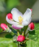 Apple-bloemen op boomtak De achtergrond van de lente royalty-vrije stock afbeeldingen