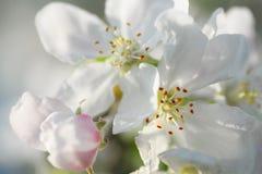 Apple-bloemen op boomtak De achtergrond van de lente royalty-vrije stock foto