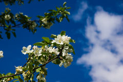 Apple-bloemen over blauwe hemel Stock Foto