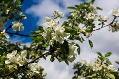 Apple-bloemen over blauwe hemel Stock Foto's
